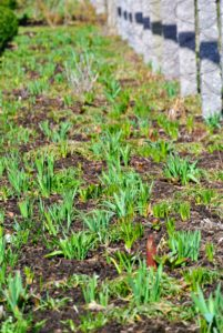 All around the farm, bulbs are pushing through the earth with so much energy. In the beds bordering my clematis pergola, we planted fritillaria, alliums, camasia and lots of crocuses. I can't wait to reveal this area very soon - it will look so beautiful.