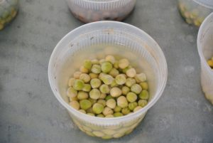 Each pea variety is in its own container filled half full with water, so the peas are well covered. Only soak seeds for about eight to 12-hours and no more than 24-hours. Over-soaking them could cause them to decompose. When removing the peas, discard any that have floated to the top of the water – these are not viable and shouldn't be planted.