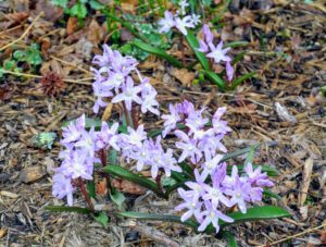 Here are more Chionodoxa in pink.