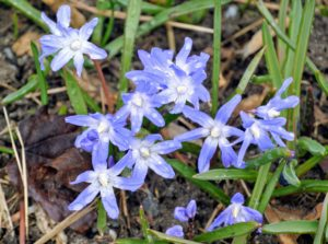 Chionodoxa, known as glory-of-the-snow, is a small genus of bulbous perennial flowering plants in the family Asparagaceae, subfamily Scilloideae, often included in Scilla.