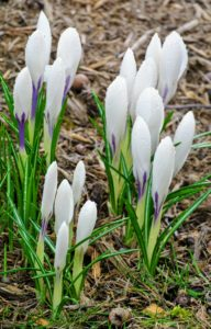 Crocuses also come in white with purple. These are just about to open.