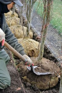 Once the twine and burlap are removed, Chhiring removes the top layer of soil to ensure the flare is bare.
