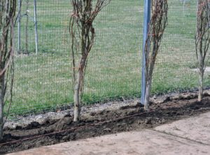 Here are the trees all backfilled.