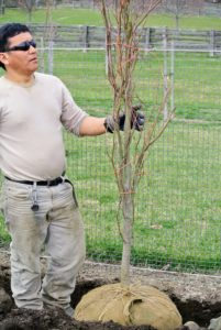 Phurba looks at the positioning of the tree carefully to make sure it is straight. When selecting trees always check for signs of injury from disease or trunk damage from mishandling. All these trees are in excellent condition.