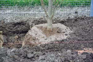 The root ball is then backfilled with composted soil.