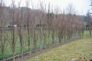 I cannot wait to see these trees full of deep purple leaves.