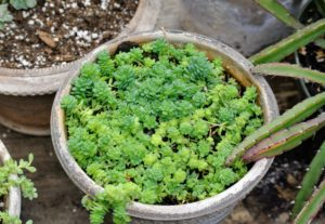 This is another type of sedum. Sedum is a large genus of flowering plants, commonly known as stonecrops. They spread rapidly.