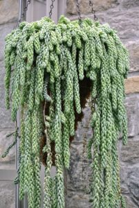 Sedum morganianum, also known as burro's tail or donkey's tail is a spectacular hanging basket plant. It has wiry stems densely covered with short thick leaves.
