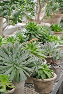 Succulents are often grown as ornamental plants because of their striking shapes. They are best planted in clay or terra cotta pots with proper drainage holes because the vessels dry quickly, and prevent water from building up.