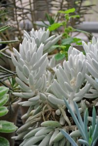 Senecio is another succulent grown for its decorative foliage. Senecio haworthii, or cocoon plant, has cocoon-shaped leaves thickly covered with silvery white hairs.