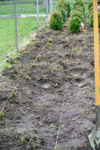 Before planting, Chhiring secures twine at the fence line and to the stems of the existing boxwoods, so everything can be planted perfectly in line with the others.