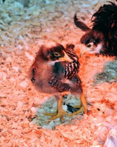 Most chicks are very curious birds. This chick watches and waits for its turn to eat.