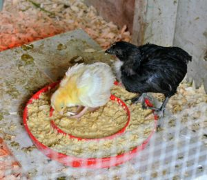 And look, the peachick and his chicken friend are still together. A good chick starter feed will contain protein for weight gain and muscle development, plus vitamins and minerals to keep them healthy and to build their immune systems.