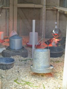 It is important to keep the babies separated but within sight of the other chickens. We designate one coop for the youngest of the flock until they are old enough to socialize with the others. The heat lamps are suspended above the brooder. Raising and lowering them help adjust the temperature.