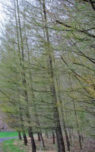 We've planted many larch trees in the woodland. Larches are conifers in the genus Larix. They are native to much of the cooler temperate northern hemisphere, on lowlands in the north and high on mountains further south.
