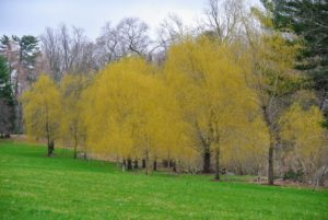 And from a distance, the stunning golden-yellow weeping willows. Here is one grove of weeping willows on the edge of my lower hayfield. The golden hue looks so pretty against the early spring landscape.