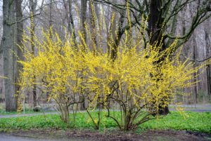 There is a lot of forsythia blooming this time of year. They are among the first plants of spring to burst forth in the garden. These specimens like at least six-hours of sunlight a day, and well-draining soil.