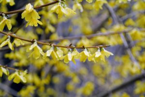 Yellow blossoms cover each elegant branch, producing arches of color that can be seen from a distance.