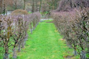 Adjacent to the 'Miss Kim' lilacs is my dwarf apple orchard. If you recall, these trees produced so many apples last season.