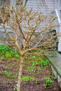 Just in front of the katsuras are two smaller viburnums. Viburnum is an upright, rounded, multi-stemmed, deciduous shrub or small tree that typically grows to 20-feet tall and up to15-feet wide.