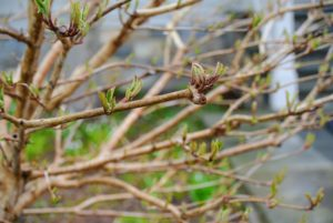 More buds that will soon open with beautiful white blooms.