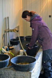 After all the oats and other grains are soaked, Sarah prepares each feeding bowl - mixing and distributing what is needed for each horse.