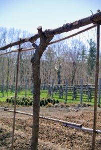 "Each of the upright posts for our trellis has a natural ""V"" shaped notch at one end. This serves as a support for the top cross branch. Each of the branches has about a two to four-inch radius."