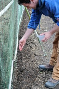 Ryan drops the seeds into the furrow about an inch or two apart.