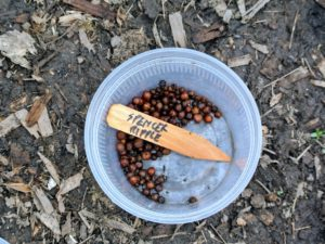 These seeds were soaked in water the night before. Soaking rehydrates the seeds and softens the hard seed coat.