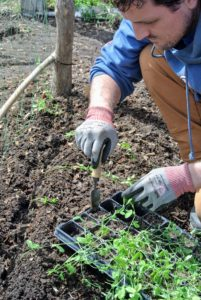 And instead of planting seeds, he plants these seedlings, which were started from seed in the greenhouse.