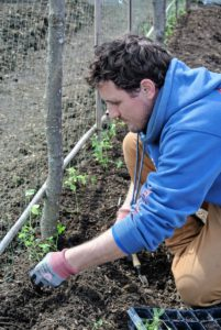 Ryan gently plants each one against the netting. Peas use tendrils to climb. They can grasp anything that's a quarter-inch or less. It's important to get them blooming early, before the summer heat knocks them out.