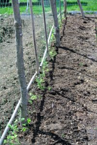 Ryan planted the entire length of the trellis with these seedlings. All our sweet peas will bloom so beautifully here this year.