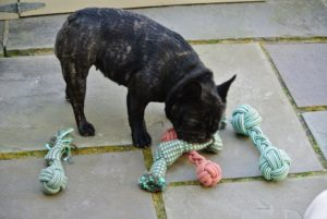 Here is Bete Noire testing out the toys. It is always a good idea to have several toys available, especially when you have more than one pet sharing your home - it can help prevent resource guarding.