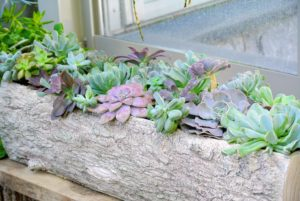 Last week, you may recall, I posted a blog on planting a selection of succulents in two of my new faux bois planter boxes. They look so great in these vessels.