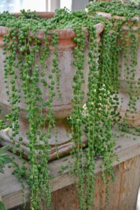 These look like strings of pearls. Senecio rowleyanus, commonly known as string-of-pearls or string-of-beads, is a creeping, perennial, succulent vine belonging to the family Asteraceae.