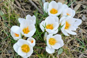 Crocus is among the first flowers to appear in spring. Here are some white crocuses. They only reach about two to four inches tall, but they naturalize easily, meaning they spread and come back year after year.