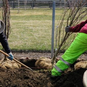"""The crew removes a little soil from under the root ball to make sure the tree is level with the others. Planting depth is one of most important factors. Planting a tree too deep can kill it. """"Bare to the flare"""" is the rule of thumb. Look for the root collar or root flare - the bulge just above the root system where the roots begin to branch away from the trunk. This root flare should be just above the soil surface."""