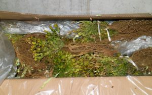 Well-packaged bare-root cuttings arrive with moist roots and, if any, bright foliage.