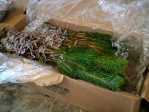 Healthy bare-root cuttings should not have any mold or mildew on the plants or on their packaging. The branches should be mostly unbroken, and roots, rhizomes, and other parts should feel heavy – not light and dried out.