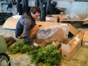 Ryan also removes the bare-root cuttings from the boxes, and groups them together, counting each bunch along the way.