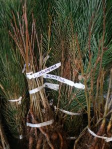 The cuttings are also kept in their bundles, so they are easily identifiable when potted. This bucket includes swamp white oak, Quercus bicolor - a North American species of medium-sized trees in the beech family, and Pinus thunbergii, also called black pine, Japanese black pine, and Japanese pine - a pine native to coastal areas of Japan and South Korea.