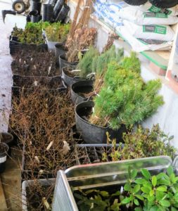 After receiving hundreds of bare-root tree cuttings, the outdoor grounds crew began potting each seedling, so they could be carefully nurtured before moving to a more permanent location.