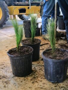 The tree is placed at the same level it was grown by the nursery - where the roots start and the top shoots begin. The soil is then gently filled in around the roots, but not packed too tightly.