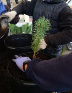Carlos plants a seedling into each pot. If they are in good condition, the plant should sprout leaves in the same year it is planted. If planted in spring, a bare-root plant should have leaves by the summer.