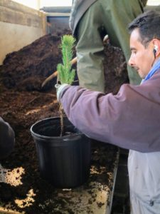 Carlos keeps the cutting centered in the container as he fills it with soil. We always use composted manure and nutrient-filled soil in all our garden beds and in these vessels.