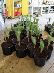 The goal in handling bare-root plants is to maintain adequate moisture so they don't dry out.