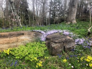 In the Pond Garden's Silver Bed, I took this photo of growing Epimedium pubigerum, Narcissus 'Hawera', Mertensia virginica, or Virginia Bluebells, Phlox subulata, and Muscari armeniacum. I grow all of these at my Bedford farm also.