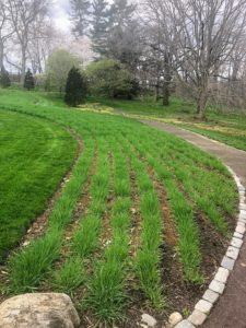 Here is the Serpentine planted with Hordeum vulgare 'Violetta', or malted barley. I loved the linear design of this bed.