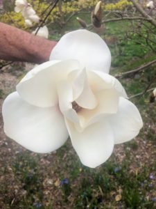 Here, Bill is holding a Magnolia 'Phelan Bright' blossom. It is a Todd Gresham hybrid of unknown parents named for magnolia enthusiast, Phelan Bright, from Hammond, Louisiana.