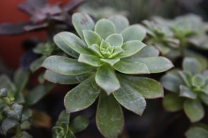 This is Aeonium 'Kiwi'. This succulent forms rosettes of brilliantly colored fleshy, spoon-shaped leaves.